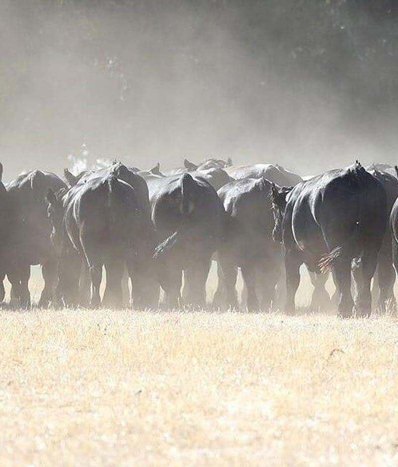 Bonnydale Simmental Bulls For Sale