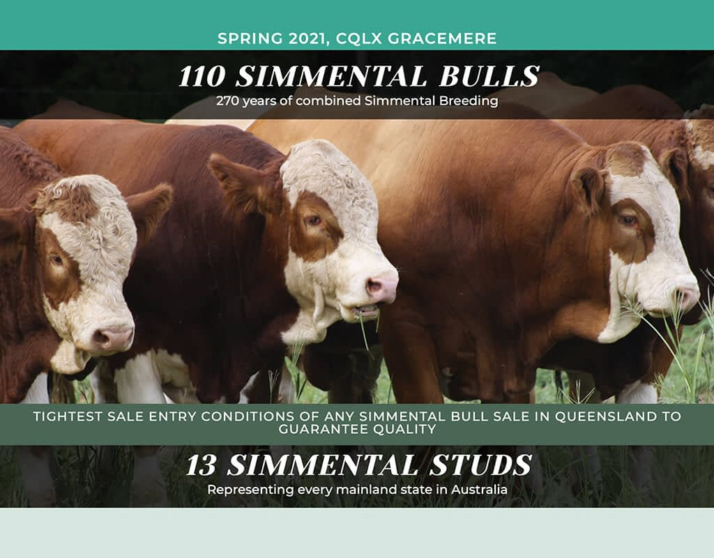 Queensland Simmental Bull Sale Launched